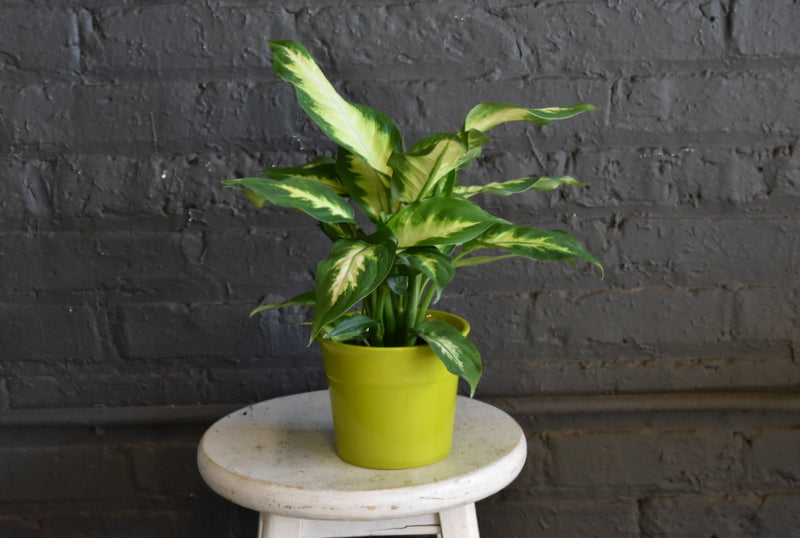 "Dieffenbachia in SK ""Olpym"" pot cover"