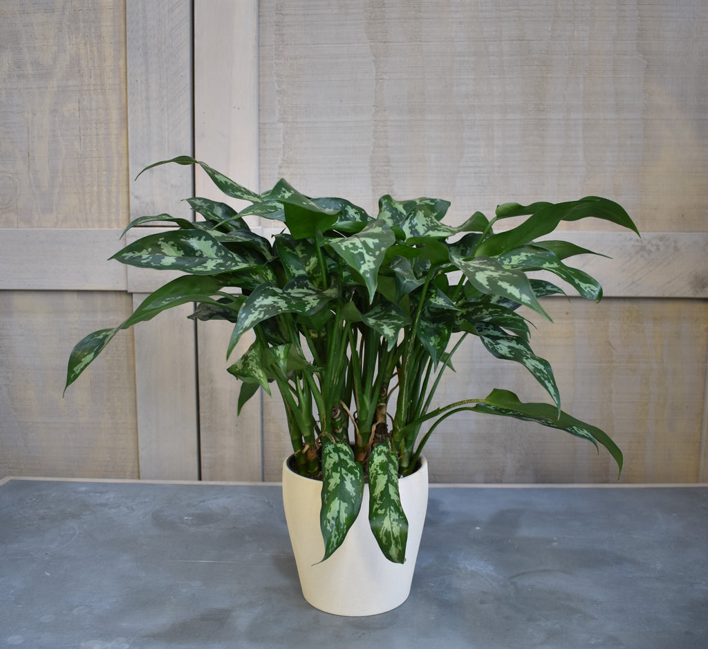 "Chinese evergreen in a SK ""Messina"" pot cover"