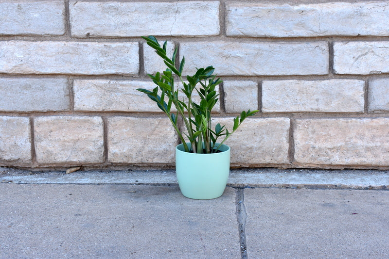 "ZZ plant with SK ""Basel"" pot cover"