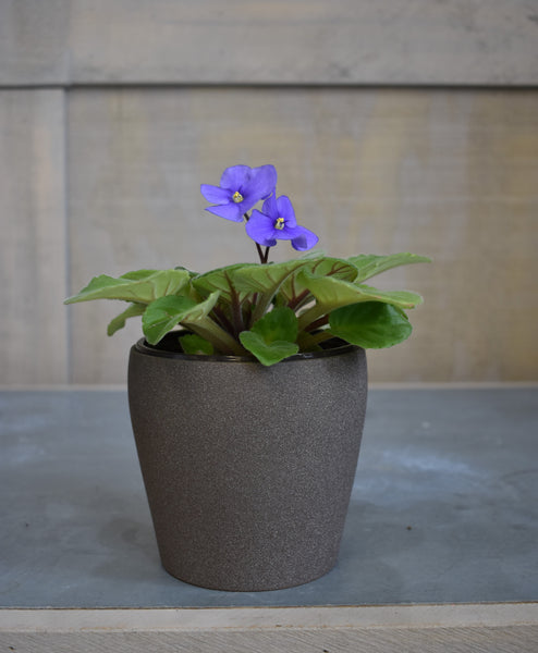 "African violet with a SK ""Messina"" pot cover"