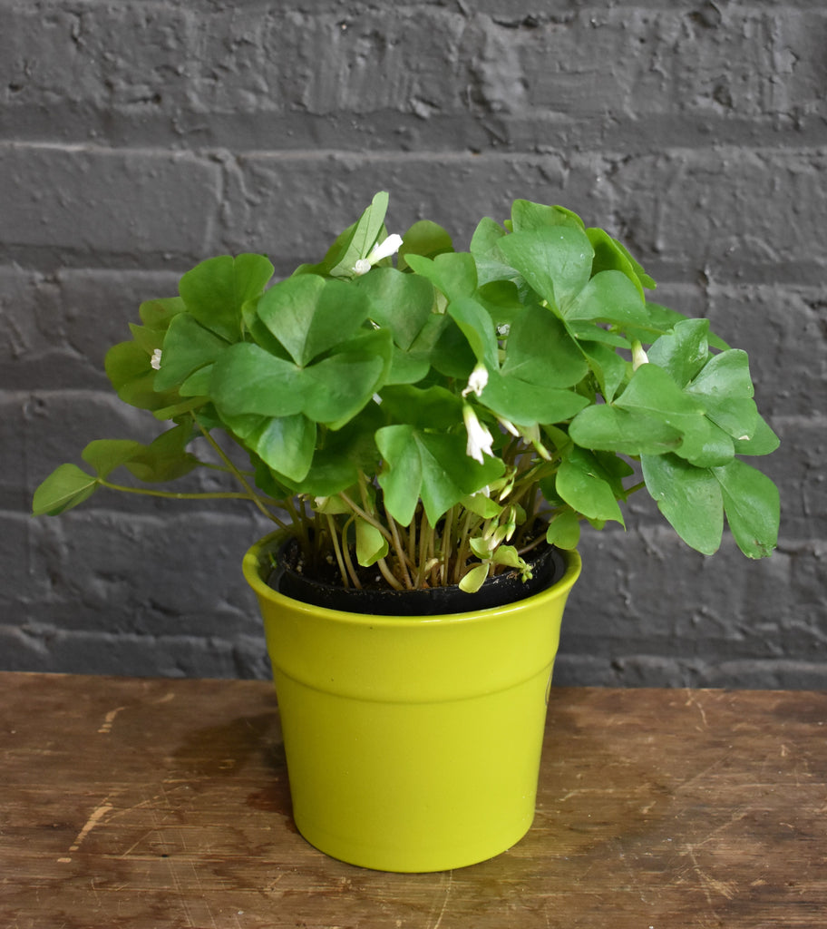 "Sharmrock plant in a SK ""Olymp"" pot cover"