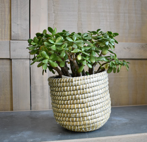 "Jade plant in an Accent Decor ""Tejida"" basket"