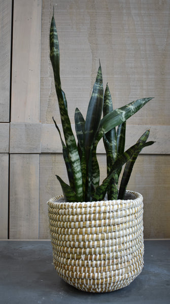 "Sansevieria in an Accent Decor ""Tejida"" basket"
