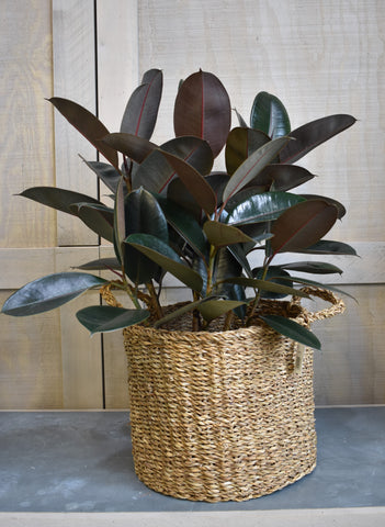 "Rubber tree in an Accent Decor ""Hacienda"" basket"
