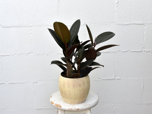 "Rubber tree in a SK ""Alberta"" pot cover"