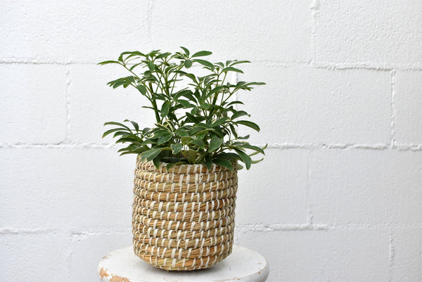 "Schefflera in an Accent Decor ""tejida"" basket"
