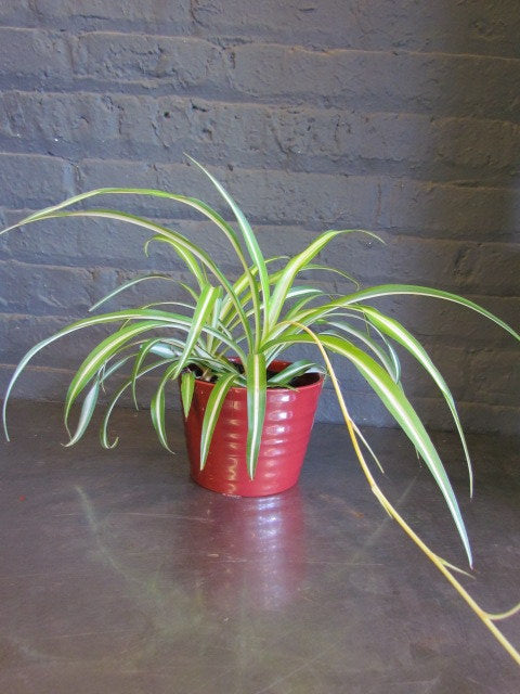 "Spider plant in SK ""Kopenhagen"" pot cover"