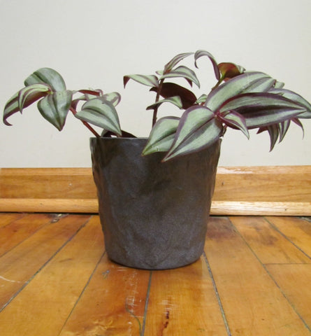 Wandering jew in SK pot cover