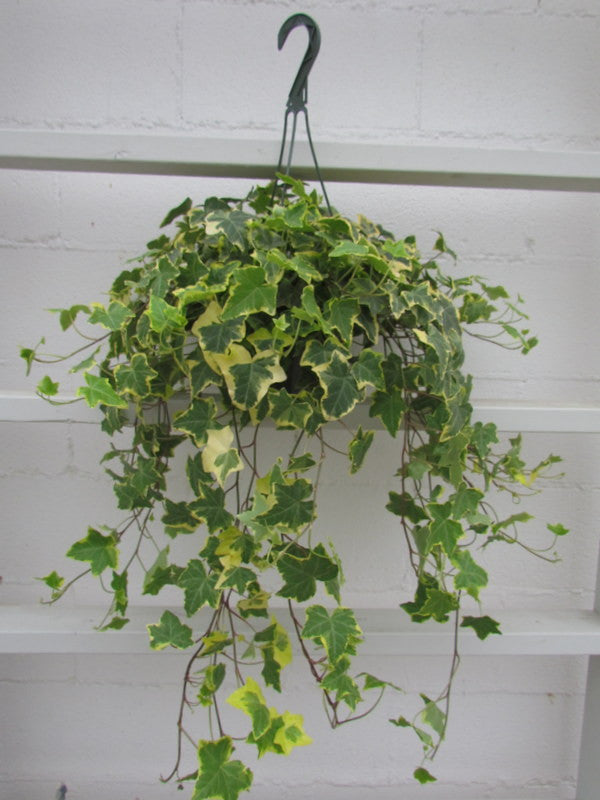 Hanging English ivy plant