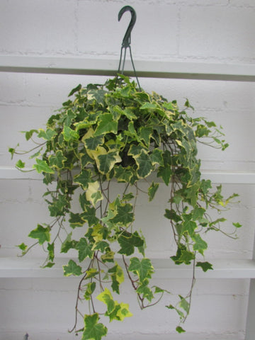 Hanging English ivy plants