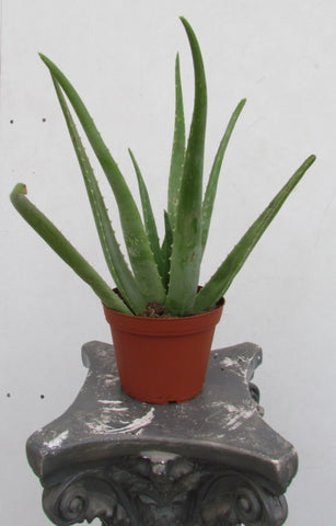 Aloe plant in a six inch pot