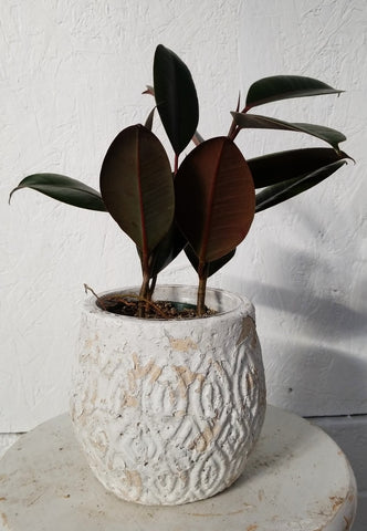 Rubber Tree in Andaz Pot