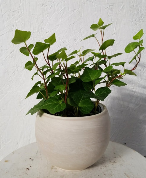 Ivy in Astrid Pot