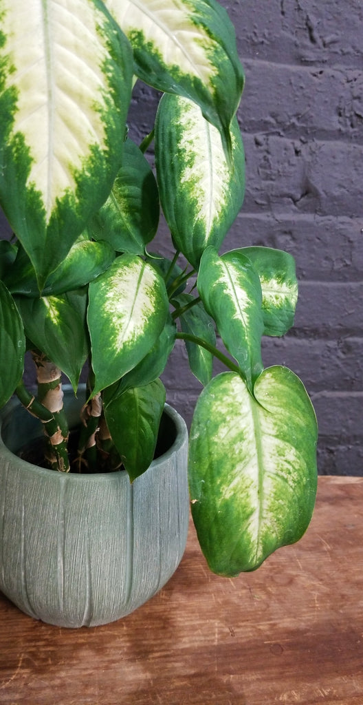"Dieffenbachia in a SK ""Rondo"" pot cover"