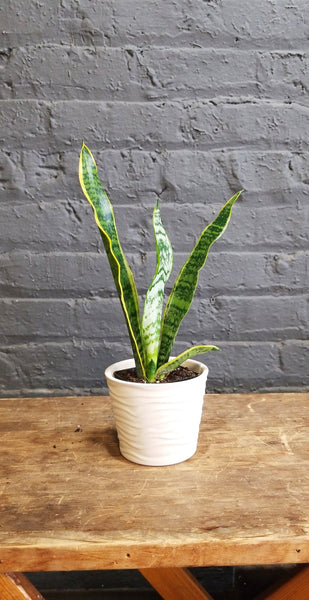 "Just a Sansevieria in SK ""Sonora"" Pot"