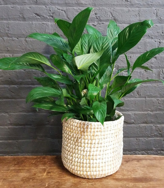 "6"" Peace Lily in Accent Decor ""Tejida"" basket"