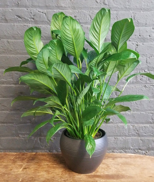 "Peace Lily in SK ""Manacor"" pot cover"