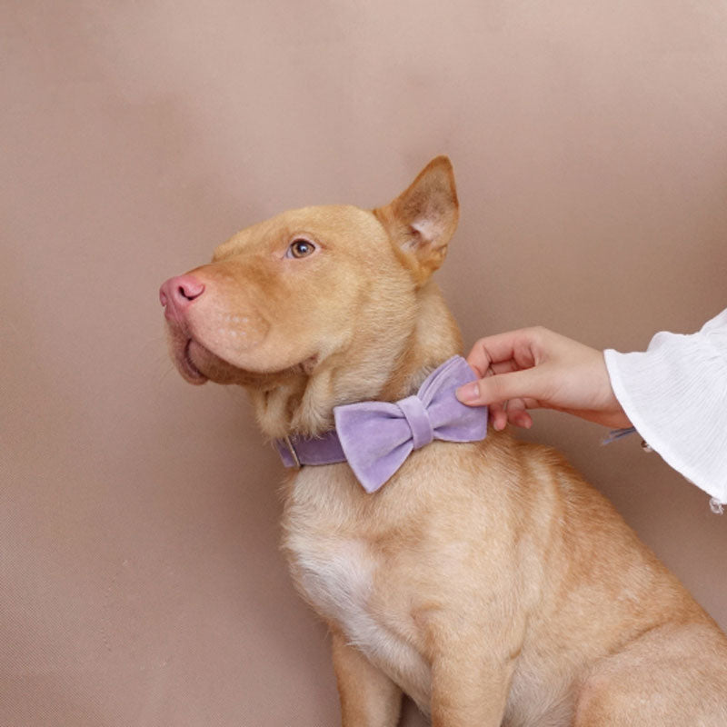 fancy dog collar with bow tie