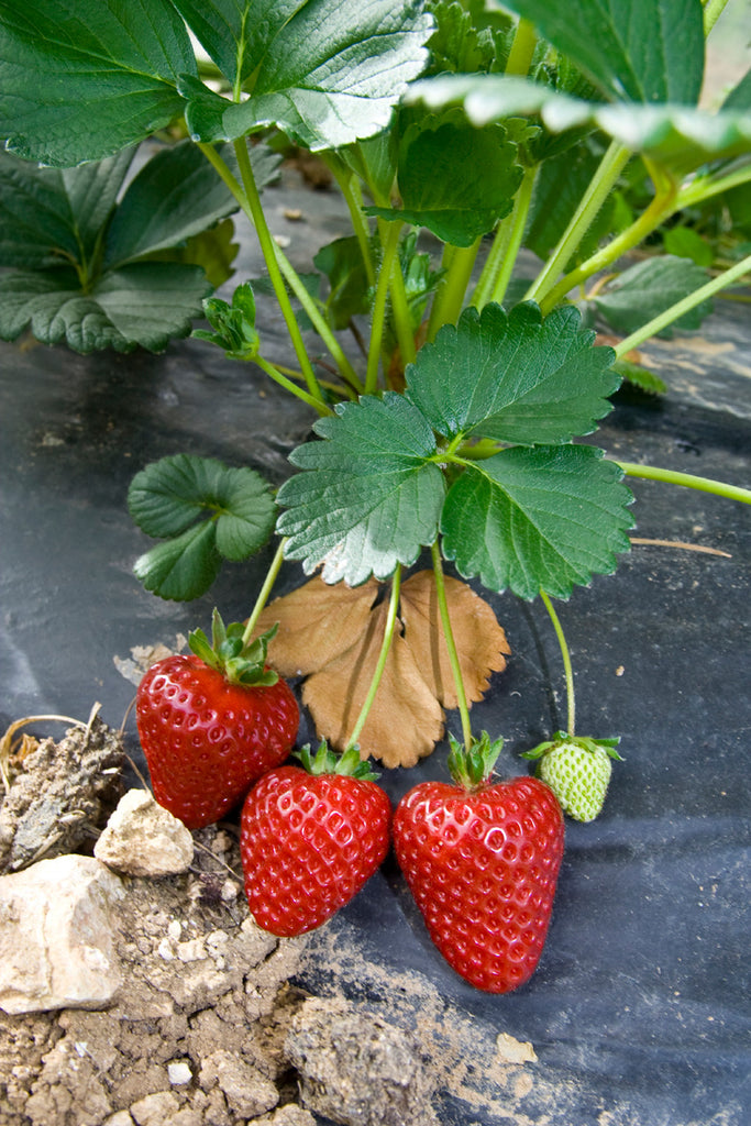 Strawberries with nonwoven cover