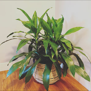 3 gallon Dracaena Janet Craig in wicker basket
