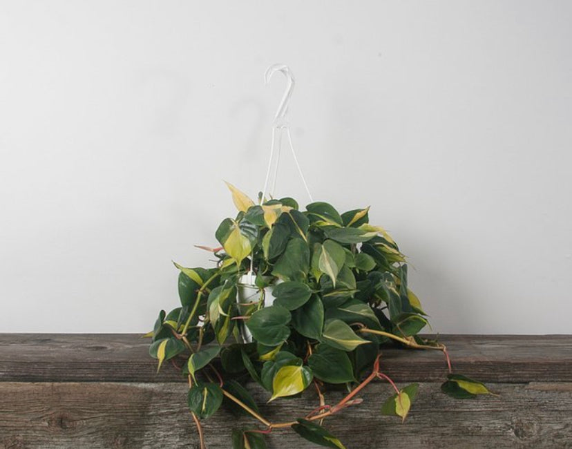 "8"" Philodendron Brasil"