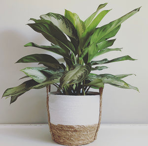 3 Gallon Chinese Evergreen Silver Bay