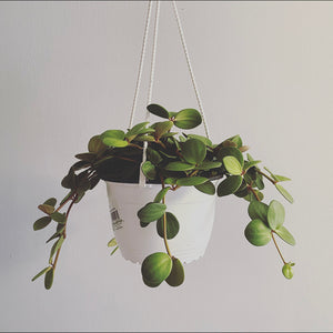 "6"" Peperomia Hope Basket"