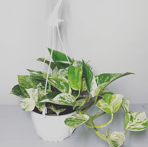 "6"" Marble Queen Pothos Baskets"