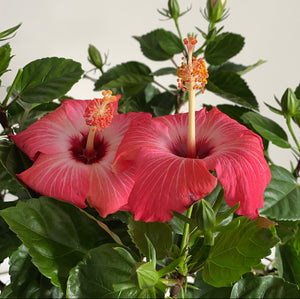 3 gallon Hibiscus