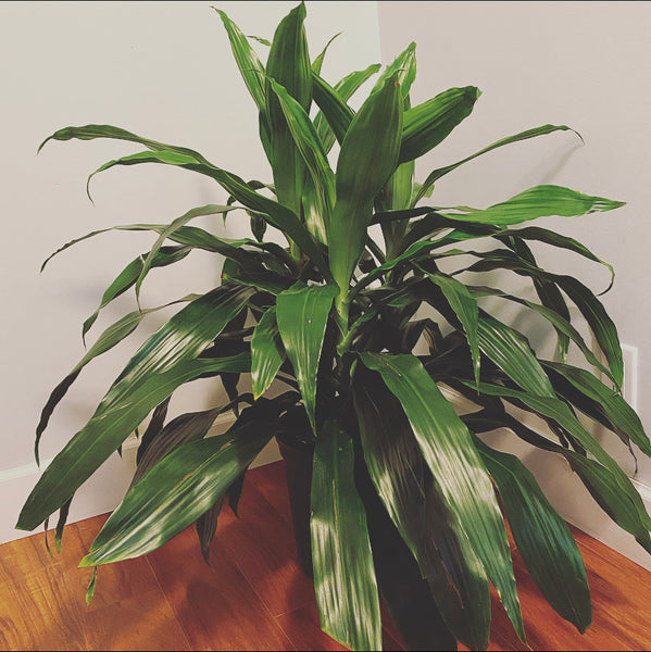 3 gallon Dracaena Janet Craig with basket