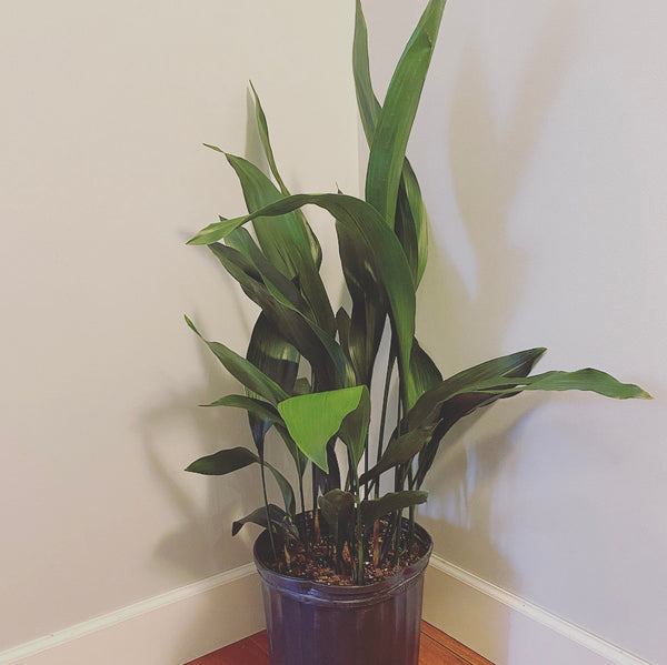 3 gallon Cast Iron Plant