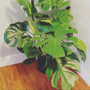 3 gallon Monstera Deliciosa