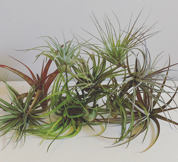 Assorted Air Plants