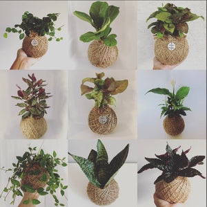 Tropical Kokedama Assortment