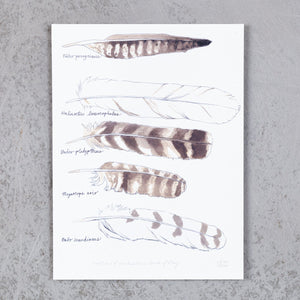 Feathers of Northeastern Birds of Prey