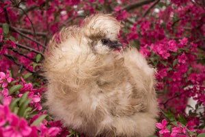 Silkie - Nonstandard Color and Frizzled Assortment