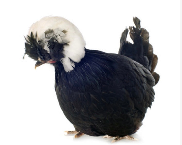 Polish - White Crested Black