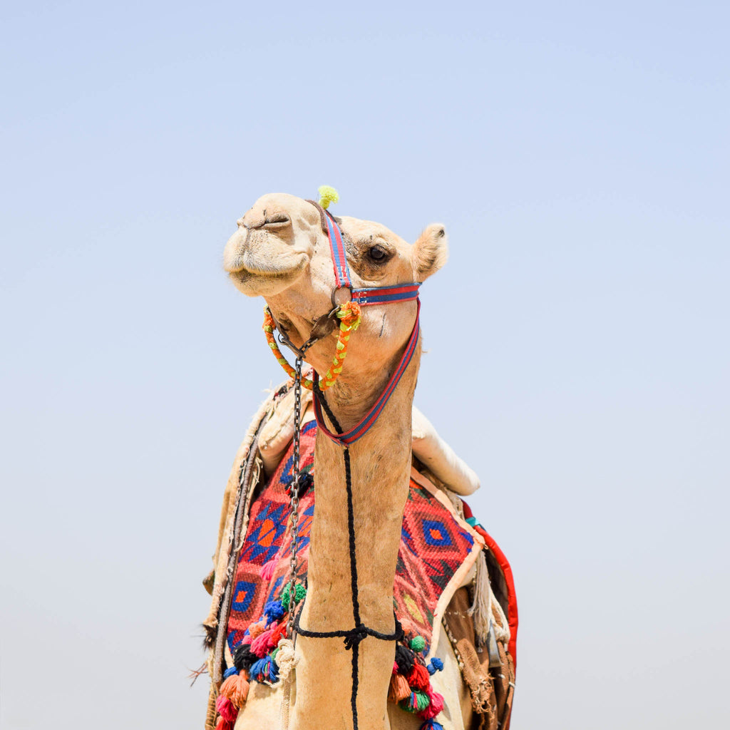 Camel Photographic Print