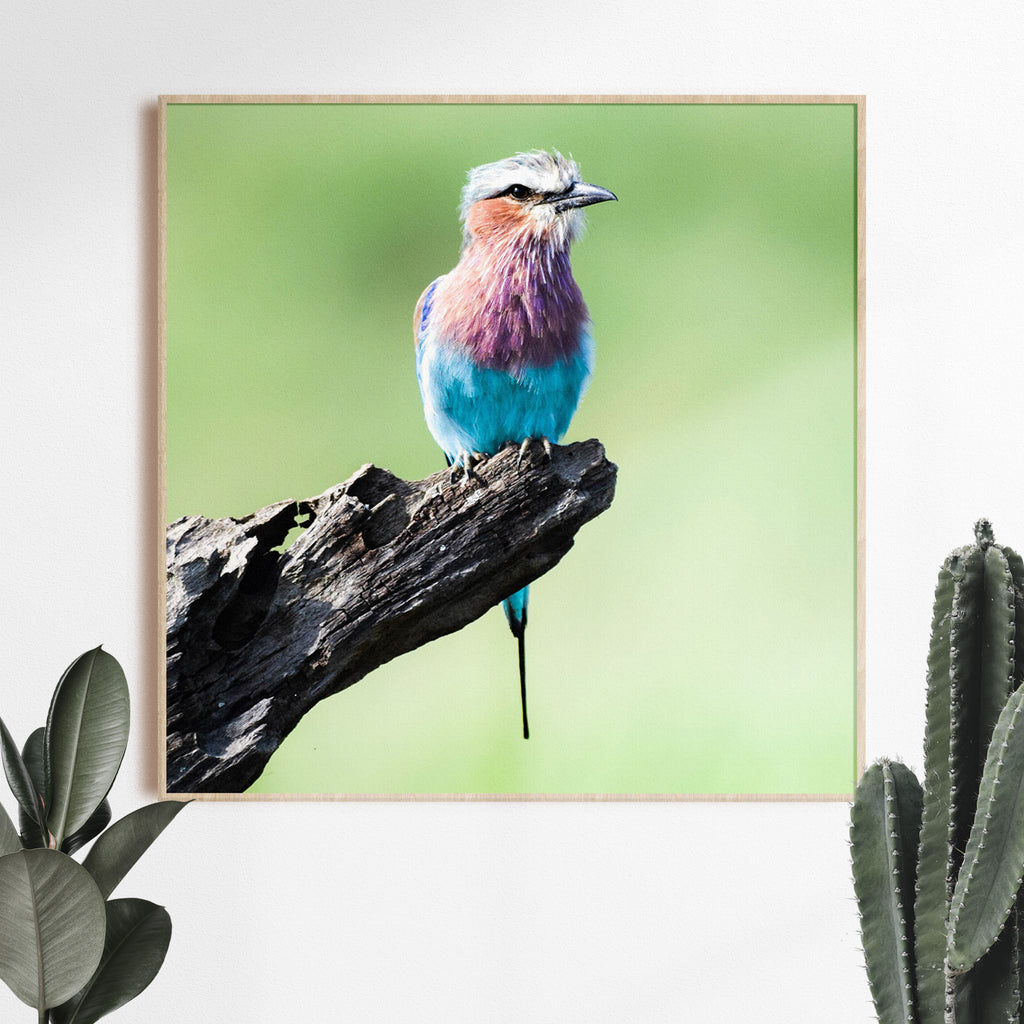 Lilac Breasted Roller Photographic Print