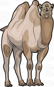 A Large Brown Camel