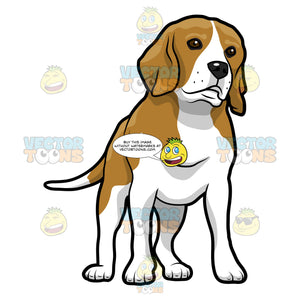 Brown And White Beagle Standing