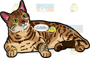 A Pretty Bengal Cat. A pretty Bengal cat with a spotted golden coat and green eyes, lying down with it's head raised and cocked to one side looking at something in its view