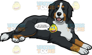 A Friendly Bernese Mountain Dog