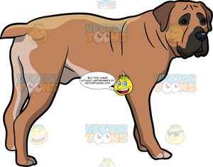 An Intrigued Boerboel Dog