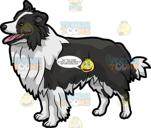 A Curious Border Collie Dog