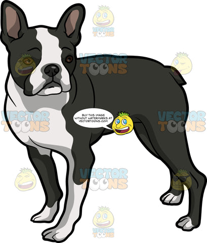 An Observant Boston Terrier Pet Dog