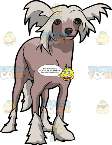 An Adorable Chinese Crested Dog