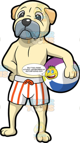 A Dog Ready For The Beach. A dog with pale cream coat, beige droopy ears, gray muzzle, dark gray nose, looking awkward while wearing a striped white and orange board shorts, as he carries a white with purple, blue and yellow beach ball in between his left arm and side belly