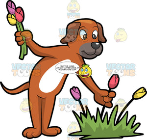 A Dog Picking Tulips. A dog with brown and white coat, droopy ears, gray muzzle and nose, smiles while picking colorful tulips from its main plant