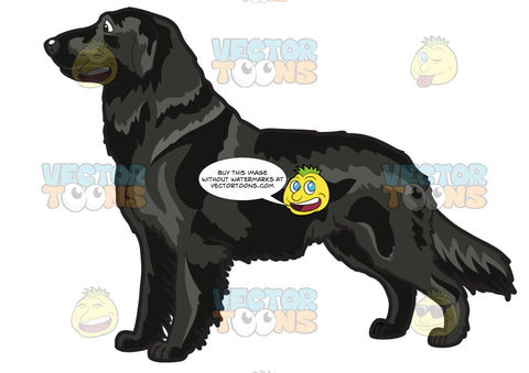 A Well Flat Coated Retriever